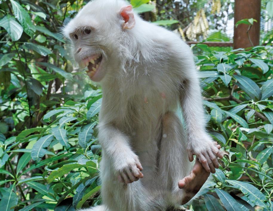 白いサルの「スノーウィー」はこの動物園のアイドル!