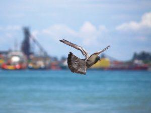 82Canon-Labuan鳩