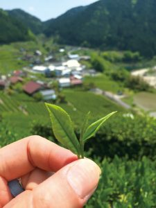 82EN-Shirakawa-茶摘み